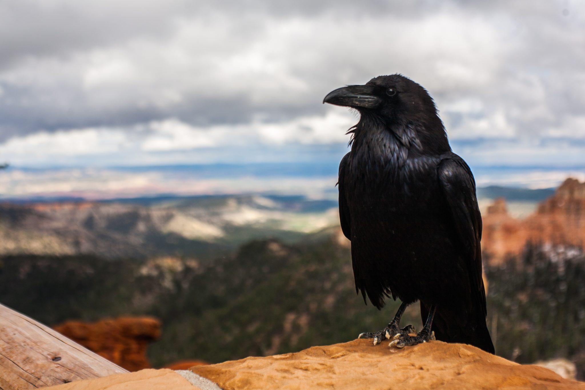 crow-828944