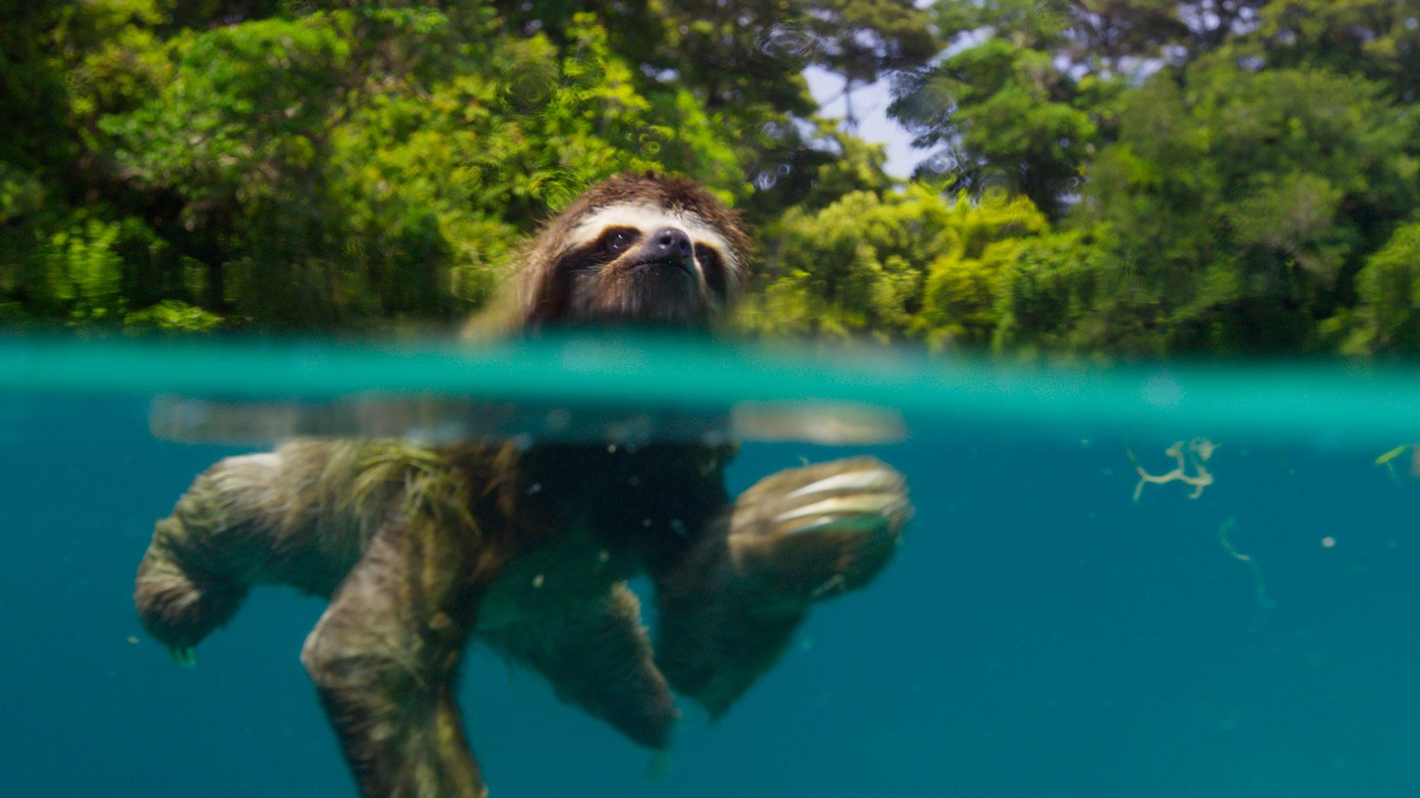 Faultiere sind überraschend gute Schwimmer (Copyright BBC 2016 & polyband)